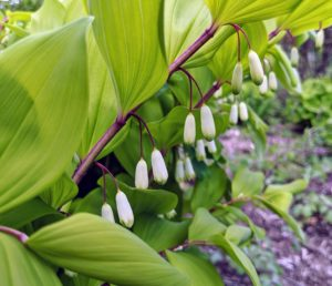 Among the many plants in the Stewartia Garden is Solomon's Seal - a hardy perennial native to the eastern United States and southern Canada. These plants produce dangling white flowers, which turn to dark-blue berries later in the summer.