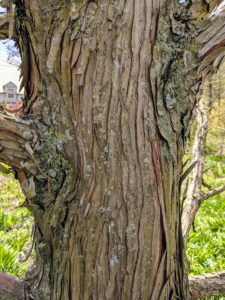 "The bark of the bald cypress, Taxodium distichum, is brown to gray and forms long scaly, fibrous ridges on the trunk. Over time, these ridges tend to peel off the in strips. The name ""bald"" cypress is likely related to this peeling habit."