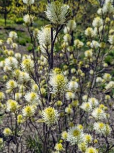 Also in this garden – fothergilla – a slow-growing, deciduous ornamental shrub that is native to moist lowland coastal plain bogs and savannahs in the southeastern United States from North Carolina to the Florida panhandle and Alabama. It grows two to three feet tall and as wide. The whimsical flowers are bottlebrush-like spikes that bloom in spring.