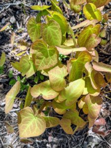 Epimediums are long-lived and easy to grow and have such attractive and varying foliage. Epimedium, also known as barrenwort, bishop's hat, and horny goat weed, is a genus of flowering plants in the family Berberidaceae.