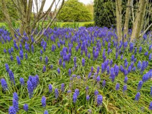 Right now, one can see carpets of gorgeous purple muscari, or grape hyacinths.