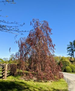 At one end of the Boxwood Allee is this beautiful weeping copper beech, Fagus sylvatica 'Purpurea Pendular', an irregular spreading tree with long, weeping branches that reach the ground. Its stunning color and interesting shape always attract a lot of attention from visitors.