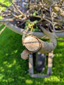 This is the cross-section of a dead branch - it is very woody in appearance. Good pruning and grooming are important in the care of any plant, shrub, or tree.