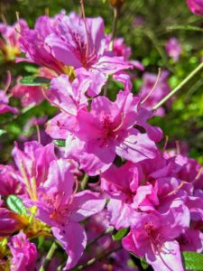 Azaleas are generally healthy, easy to grow plants. Some azaleas bloom as early as March, but most bloom in April and May with blossoms lasting several weeks.