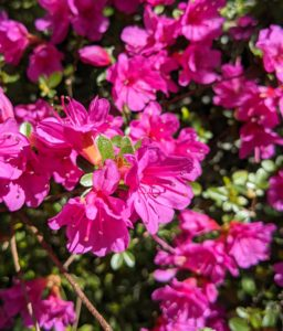 Azalea flowers can be single, hose-in-hose, double, or double hose-in-hose, depending on the number of petals. These bold pink azalea blossoms are hose-in-hose and contain 10-petals each.