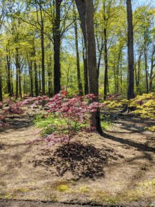 The Japanese maples in this grove are varieties of Acer palmatum - trees that have been cultivated in Japanese gardens for centuries. Over the last several years, I've planted hundreds of these trees. I just love them.