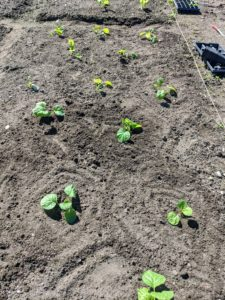 Here, one can see how they are planted so they all have enough room to grow. The plants are at least 12 inches apart. The trick to growing brassicas is steady, uninterrupted growth. That means rich soil, plenty of water, and good fertilization.