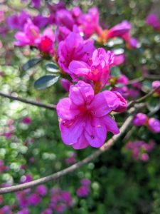 Azalea petal shapes vary greatly. They range from narrow to triangular to overlapping rounded petals. They can also be flat, wavy, or ruffled.