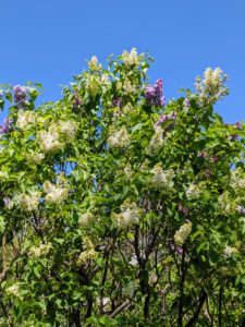 They're not all in bloom just yet, but the lilacs are looking so beautiful. Lilacs appear from mid-spring to early summer just before many of the other summer flowers blossom.