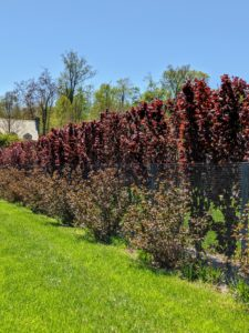 On the inside of the pool fence, I have a growing hedge of purple columnar beech trees, Fagus sylvatica 'Dawyck Purple' - a splendid tree with deep-purple foliage that holds its color all season. For the outside of the fence, I chose to plant Physocarpus opulifolius 'Diabolo' and Cotinus coggygria 'Royal Purple'. I always try to incorporate unique and interesting plantings into my gardens - both these shrubs have superlative color, appealing form, and look excellent in this area.