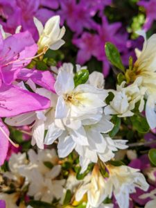 Many azaleas have two to three-inch flowers and range in a variety of colors from pink to white to purple, red, orange, and yellow.