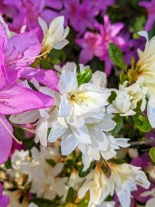 The tube-shaped base of the flower contains a stamen that protrudes from the center. The leaves are often evergreen with wooly undersides. Azalea petal shapes vary greatly. They range from narrow to triangular to overlapping rounded petals. They can also be flat, wavy, or ruffled.