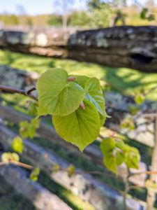 The leaves of the littleleaf linden are ovate, shiny, and dark green up to about three inches long with tapered tips, serrate margins, and cordate or heart-shaped bases.