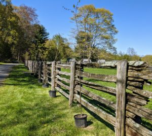 Along this fence, we're planting more trees - littleleaf lindens, Tilia cordata, also known as small-leaved lime or small-leaved linden. Tilia cordata is a species of Tilia native to much of Europe. It is found from Britain through mainland Europe to the Caucasus and western Asia.