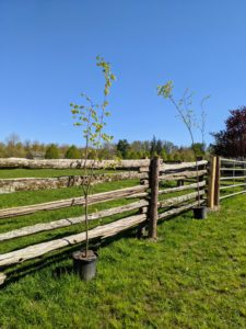 Littleleaf lindens grow well in full sun or partial shade. This sunny location will work well for these trees and offer a bit of shade in the area once full grown. These trees like moist, well-drained soil and can handle short periods of excessive moisture.