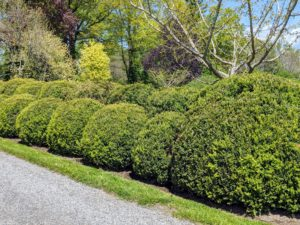 This spring, the boxwood is looking so wonderful and healthy.