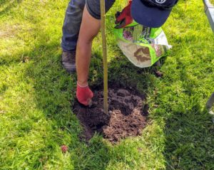 And don't forget the fertilizer. A good fertilizer made especially for new trees is sprinkled in the hole and generously around the base of the tree once it is in the ground.