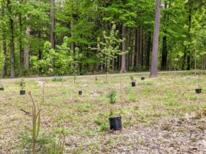 In spring, I also like to plant trees back in the woodland, after areas have been cleared of overgrown brush. The crew placed a variety of pines in this area I call the triangle - an intersection in the woods where two of the carriage roads meet.