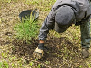 Dawa then backfills the pine tree's hole and tamps down on the soil lightly to ensure good contact.