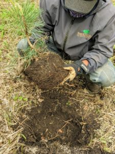 Dawa loosens the soil around the root ball before planting. This stimulates new growth and promotes good aeration. He also assesses the tree to see which side looks best. The best side will be pointed outward, so it looks prettiest when seen from the carriage road.