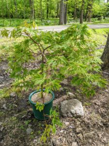 Among those we're planting this year is this 'Green Cascade' Japanese maple. Noted for its unique form, award-winning Acer japonicum 'Green Cascade' is a small mounded tree of graceful, weeping or pendulous habit.