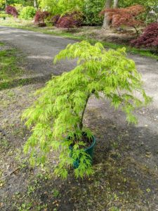 Nearby, is the 'Green Threadleaf' maple. I love its unique shape.
