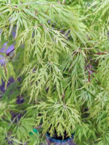 'Green Threadleaf' maples have smooth, muscly branches and feather-soft green foliage that cascade to the ground.