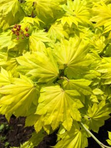 It shows intensely bright yellow leaves in spring. These leaves are rounded, palmate leaves, adorned with seven to nine sharply pointed lobes that gradually turn pale chartreuse as the season progresses.