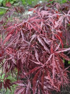The foliage is deeply lobed with a beautiful purple-red color throughout the summer. The color turns bright red in the fall. The palmate leaves have seven to 11 incised lobes cut to the base of the leaf.