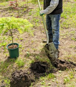 Once the trees are positioned, Pete begins planting. Here he is digging one of the holes. A crucial step in growing healthy trees is to plant them at the proper depth. Planting a tree too deep can kill it. Plant it only at its flare - the bulge just above the root system where the roots begin to branch away from the trunk.
