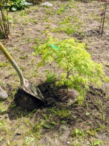 Pete also adds a little more soil and then skillfully shapes the pit. After putting a new tree into the ground, be sure to keep it slightly moist for the first year as it takes root.