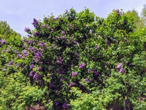 By mid-May this year, the lilacs were in full bloom - rich violet, blue, lilac, pink, purple, and white. If you plant lilacs, be sure to choose a spot that is large enough to accommodate the mature size of the plant.