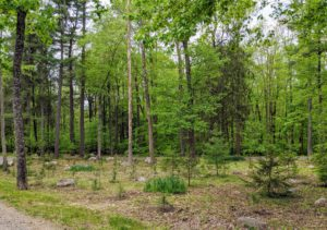 There are many, many more trees to plant in this woodland, but this section looks good. Right now these trees are only about a foot or two tall, but these trees grow at a medium to fast rate, with height increases of anywhere from 13 inches to more than 24 inches per year.