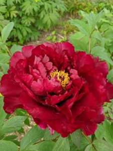 And fall is the best season to plant tree peonies because it helps the development of new roots and the recovery for normal growth the following spring.