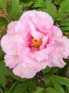 The flowers of the tree peony are usually much larger than its herbaceous peony cousins, but both come in single and double forms.