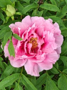 Native to Europe and Asia, peonies were brought over to England by the Romans in the year 1200. In ancient times, peonies were used for medicinal purposes including curing headaches, relieving pain during childbirth, and for the treatment of asthma.