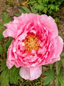 Peonies bloom in a wide range of forms, from simple, elegant singles to massive doubles with hundreds of petals. The best soil for growing must be deep, rich, and loose, with a pH between 6.5 and 7.0 – peonies prefer slightly alkaline soil.