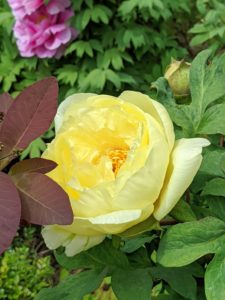 And here's another yellow peony that's still opening. Flower buds produce large quantities of nectar which attracts ants. In fact, ants play a role in the opening of flower buds and provide protection against harmful insects. Flowers emit a subtle, sweet fragrance that also attracts pollinating wasps and flies.