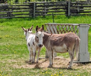 "Here are the two youngest donkeys, Jude ""JJ"" Junior and Truman ""TJ"" Junior, also getting called for their baths."