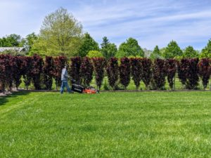 Carlos starts to mow along one side of the enclosed pool yard by the hedge of purple columnar beech trees, Fagus sylvatica 'Dawyck Purple' – a splendid tree with deep-purple foliage that holds its color all season. This hedge looks so gorgeous against the green grass.