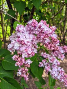 Lilacs grow best in full sun and moist, well-drained, humus-rich soil.