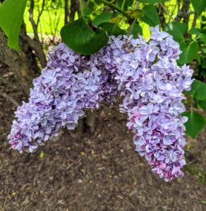 Lilacs have pyramidal clusters of blossoms with both single and double varieties.