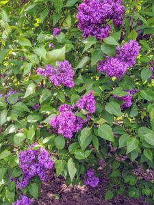 The purple lilacs have the strongest scent compared to other colors.