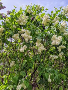 'Angel White', which reaches 10 to 12 feet tall, bears an abundance of fragrant, pure-white blooms, and thrives as far south as hardiness zone 8.