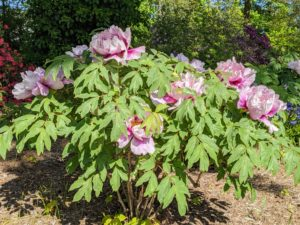 Unlike the more common herbaceous peonies, which flop over if not staked, tree peonies bloom on graceful woody stems. Many of my established shrubs came from Peony's Envy in Bernardsville, New Jersey. I also have some from Cricket Hill Garden in Thomaston, Connecticut.