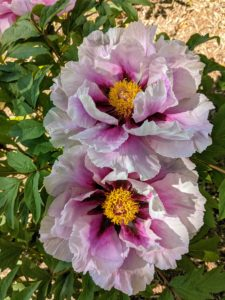 "Marco Polo, the famous merchant and explorer described peonies as ""roses as big as cabbages"". These flowers are nearly 10-inches wide."