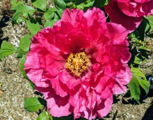 Tree peonies prefer airy, reasonably open spaces as air movement around the plant helps prevent fungal diseases like peony wilt.