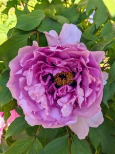 Once established, tree peonies are drought-tolerant plants. Excess water will suffocate the roots, so do not water until the soil is dry below the surface.