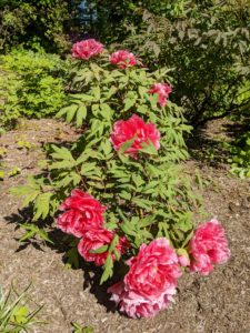 Most tree peonies will grow four to seven feet tall and about four to five feet wide, so select a spot that can also accommodate a mature plant.