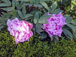 A mature plant can have an abundance of flowers. Peony leaves are alternate and deeply dissected. Leaflets are stalked, pale green above, blue-green beneath, and up to four inches in size.